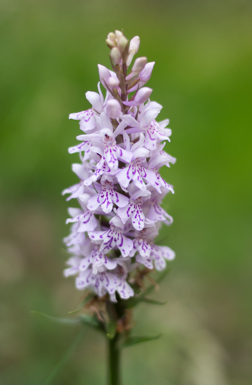 mon Spotted Orchid in Flower